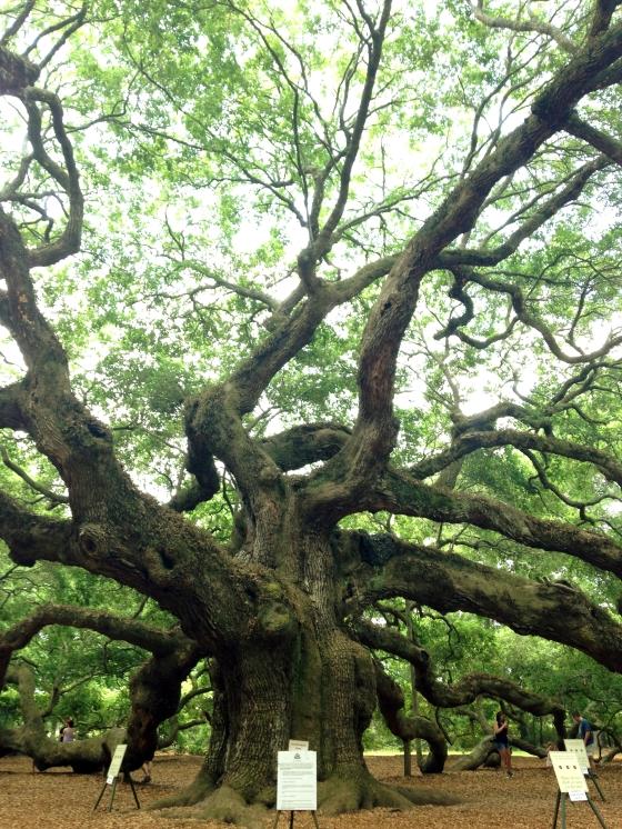 Angel Oak Tree